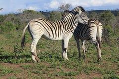 Coppie della zebra che si confortano Fotografie Stock