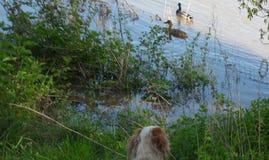 Coppie delle anatre e del cane da caccia Fotografia Stock