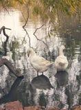 Coppie delle anatre in lago immagini stock