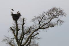 Coppie delle cicogne in albero olandese, Brummen Fotografie Stock Libere da Diritti