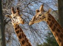 Coppie delle giraffe, Madrid, Spagna Immagine Stock
