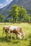 Coppie delle mucche Fotografie Stock Libere da Diritti