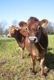 Coppie delle mucche della Jersey immagine stock libera da diritti