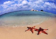 Coppie delle stelle marine immagine stock