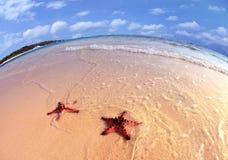 Coppie delle stelle marine fotografia stock libera da diritti
