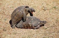 Coppie delle tartarughe che fanno amore nel centro di Ath Immagine Stock