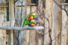 Coppie di accoppiamento dei lorikeets dell'arcobaleno, Fotografia Stock
