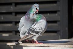 Coppie di accoppiamento naturale dell'uccello del piccione viaggiatore Fotografia Stock Libera da Diritti