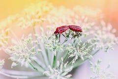 Coppie di accoppiamento rosso degli insetti dello schermo Immagine Stock