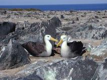 Coppie di Albatros Fotografia Stock Libera da Diritti