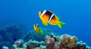 Coppie di Anemonefish del Clark nel Mar Rosso, Egitto Fotografie Stock Libere da Diritti
