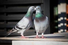 Coppie di comportamento di allevamento del piccione viaggiatore Fotografia Stock Libera da Diritti