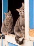 Coppie di corrispondenza i gatti di tabby blu Immagine Stock Libera da Diritti