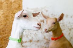 Coppie di giovani capre sveglie su un'azienda agricola fotografie stock libere da diritti