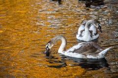 Coppie di giovani cigni sull'oro del lago di autunno immagine stock