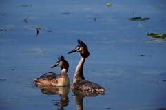 Coppie di grandi grebes crestati fotografia stock libera da diritti