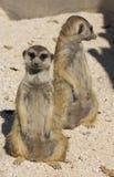 Coppie di meerkat divertente che stanno su Immagini Stock Libere da Diritti