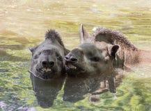 Coppie di sorridere brasiliano del tapiro dei tapiri di terrestris sudamericani del Tapirus fotografia stock libera da diritti