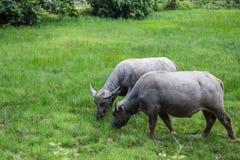 Coppie dolci della Buffalo nel campo di erba fotografia stock libera da diritti