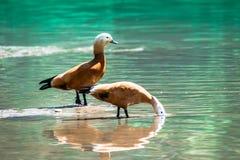 Coppie dorate dell'anatra di Brown che foraggiano acqua blu immagini stock libere da diritti