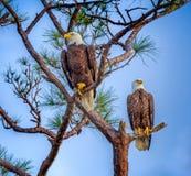 Coppie Eagles calvo americano accoppiato Fotografie Stock Libere da Diritti