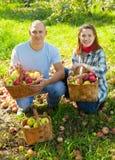 Coppie felici con il raccolto delle mele Immagini Stock Libere da Diritti