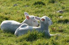 Coppie gli agnelli che si trovano nel campo Fotografie Stock
