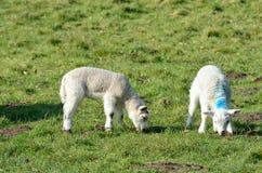 Coppie gli agnelli nel campo Fotografia Stock