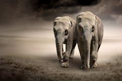 Coppie gli elefanti nel movimento immagine stock