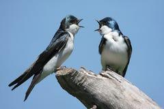 Coppie gli Swallows di albero su un ceppo Immagini Stock