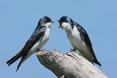 Coppie gli Swallows di albero su un ceppo Fotografia Stock