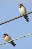 Coppie gli Swallows di granaio giovanili appollaiati immagine stock
