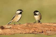 Coppie gli uccelli su un ramo Fotografia Stock Libera da Diritti