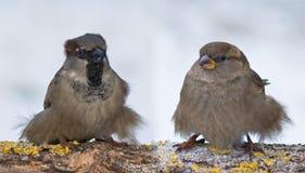 Coppie gonfie divertenti dei passeri femminili e del maschio nell'inverno immagini stock libere da diritti