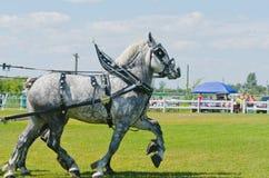 Coppie Grey Percherons alla fiera paesana Fotografia Stock