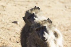 Coppie i babbuini Fotografie Stock