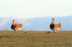 Coppie i bustards maschii Fotografie Stock