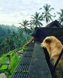 Coppie i cani che godono della vista dei terrazzi della risaia fotografie stock