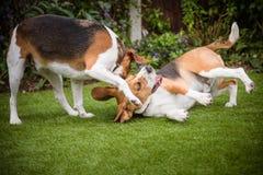 coppie i cani da lepre Fotografia Stock Libera da Diritti