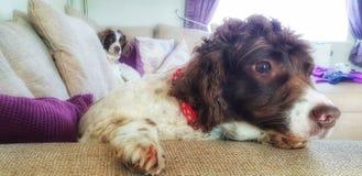 Coppie i cani di animale domestico che si rilassano sul sofà immagini stock