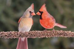 Coppie i cardinali nordici fotografie stock