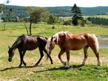 Coppie i cavalli Fotografia Stock