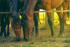 Coppie i cavalli arabi marroni che pascono Fotografia Stock