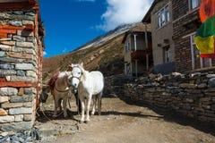 Coppie i cavalli bianchi della montagna Fotografie Stock Libere da Diritti