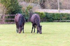Coppie i cavalli che mangiano erba Fotografia Stock Libera da Diritti