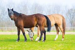 Coppie i cavalli liberi Immagini Stock