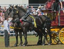 Coppie i cavalli neri di Percheron alla fiera paesana Immagine Stock