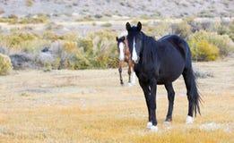 Coppie i cavalli selvaggi Fotografia Stock