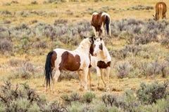 Coppie i cavalli selvaggi del mustang Immagini Stock Libere da Diritti