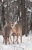 Coppie i cervi Bianco-Muniti in legno dello Snowy Fotografia Stock